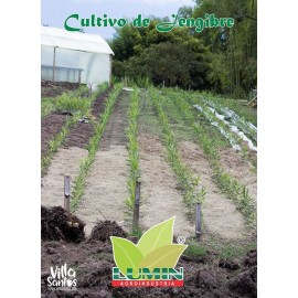 Cultivo de Jengibre en Quíndío